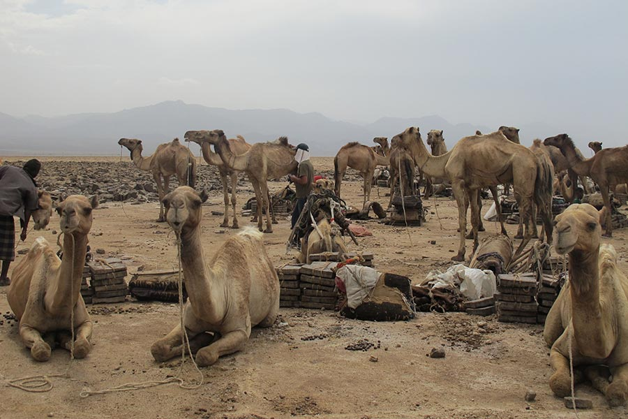 Camels in the salt mines of the Danakil