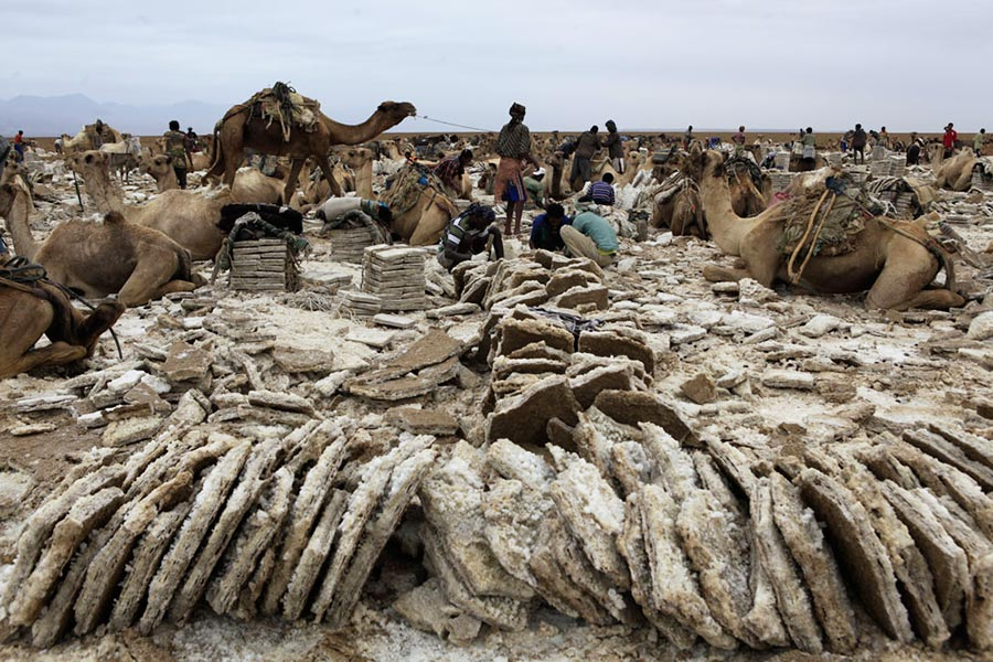 Group of camels waiting to be carried up with salt bricks in Danakil