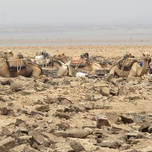 Group of camels resting up in the Danakil