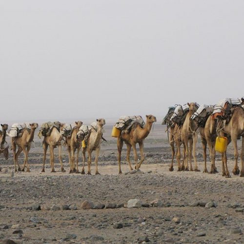 Long caravan of camels during the Danakil tour with Inside Ethiopia Tours