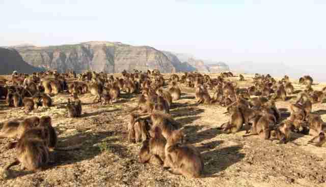 Gelada Monkeys in Ethiopia